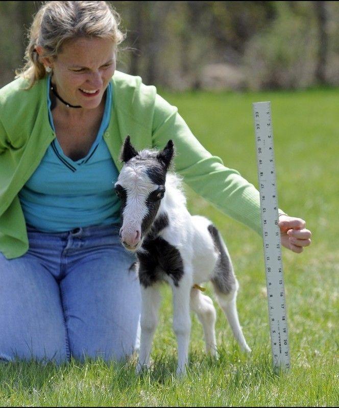 Le plus petit cheval du monde - Chassons.com