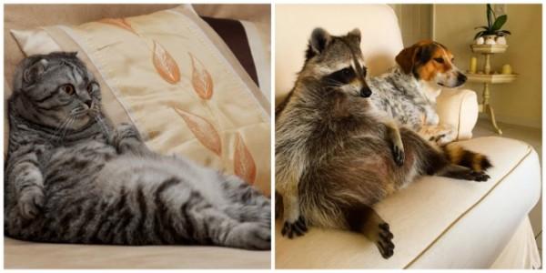 Kediler ve Rakunlar Arasında Benzerlikten Öte Bir İlişki Olduğunun Kanıtı 17 Sevimli Durum