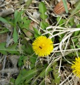 Dandelion, see the tiny bee?
