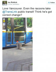 Raccoon transit