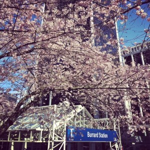 #MyTransLink photo of Cherry Blossom trees at Burrard SkyTrain Station
