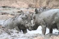 Piggies in love