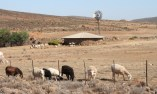 South African sheep near border of Namibia