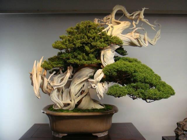 800 yaşındaki Bonsai Ağacı