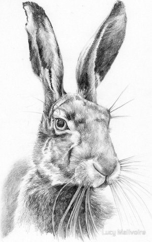 pencil animals hare drawing drawings rabbit easy simple wild animal sketches line hares bunny mr malivoire lucy photographic beginner wildlife