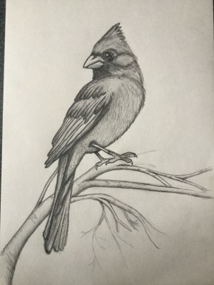 pencil drawings easy simple animals bird cardinal drawing shading charcoal coloring sketches animal beginner cardinals painting pages watercolor desert every