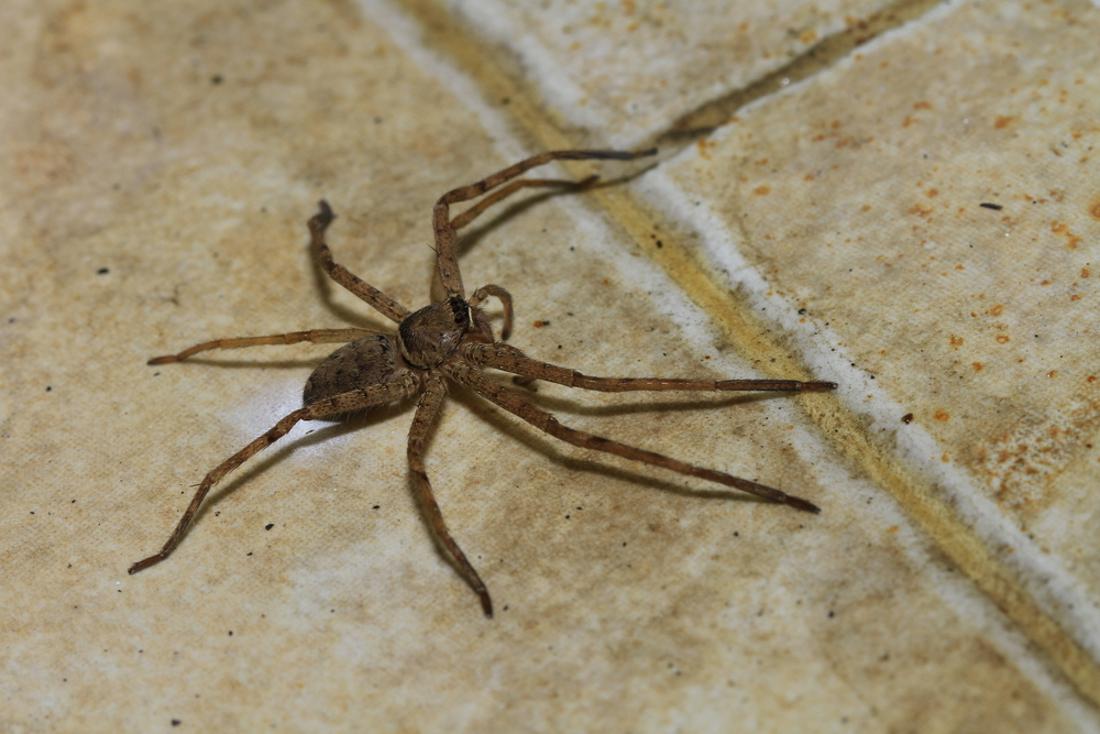 Spiders Pest of the Month