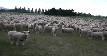 ノリが良すぎる羊の群れ