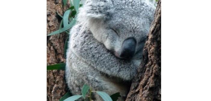 コアラが濡れると怖い