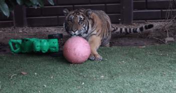 トラが人間を襲うフリをして