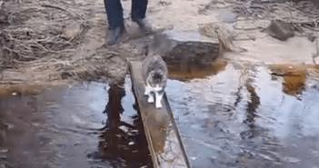 肉球を濡らしたくないネコの橋渡り