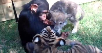 じゃれ合うチンパンジーとトラとオオカミの子ども