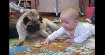 赤ちゃんがクッキーをとるのを阻止するパグ