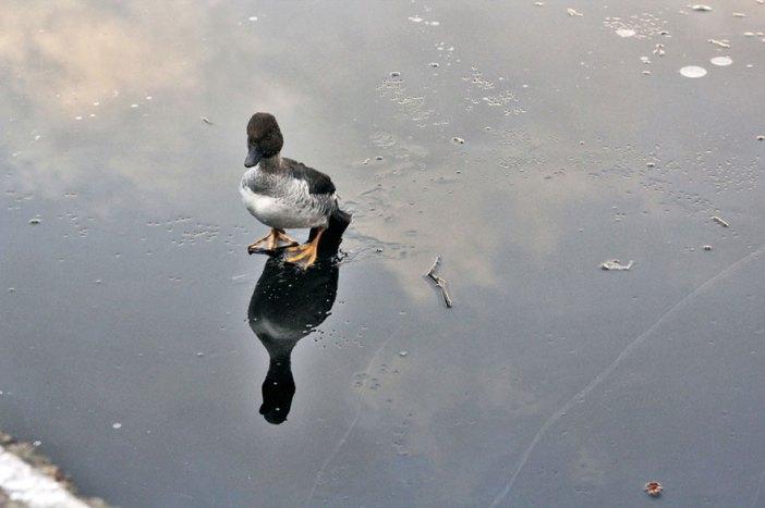 duck-rescue-frozen-lake-norway-9