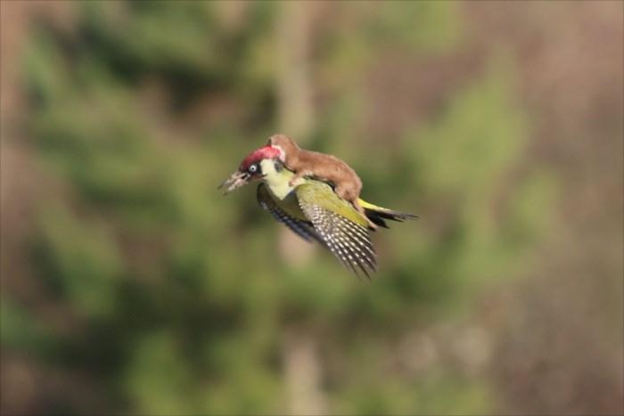 greenwoodpeckerplusone_R