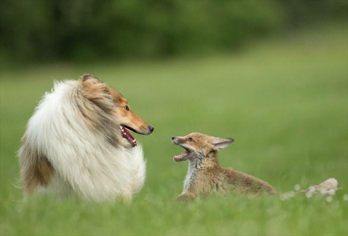 orphaned-fox-cub-adopted-dog-ziva-dinozzo-germany-12_R