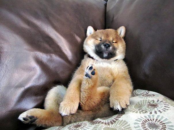 sleeping-puppy-35__605