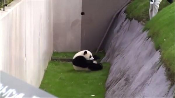 panda9_R