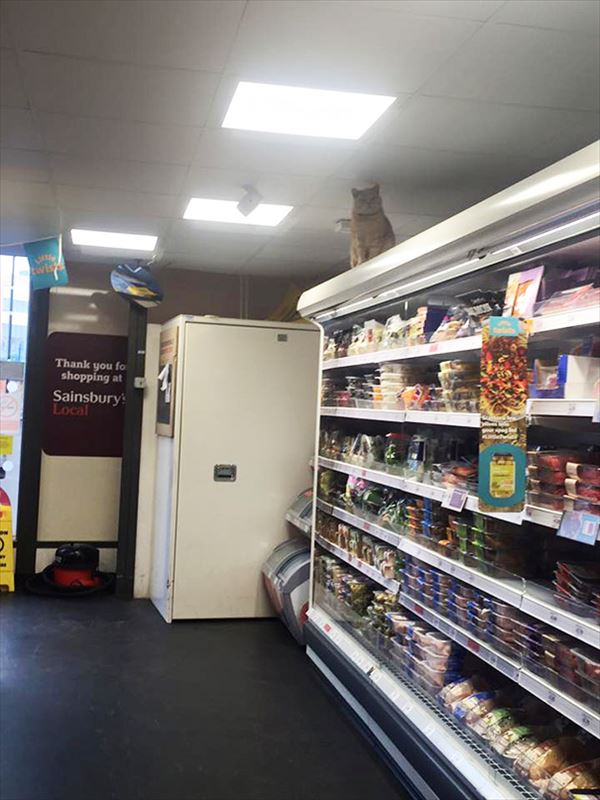 supermarket-sainsburys-cat-olly-oliver-brockley-london-8_R