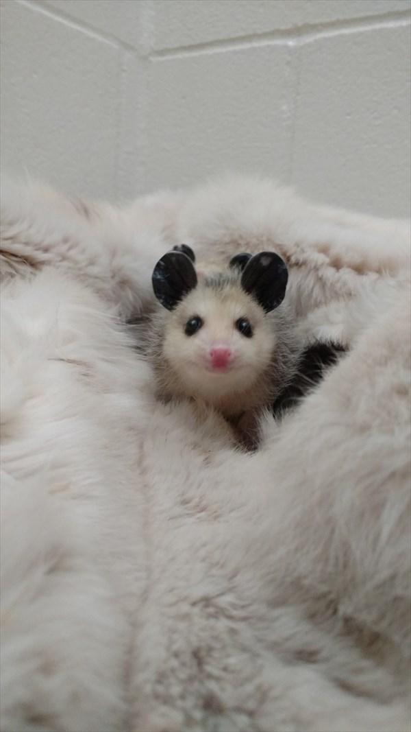 oppossum_r