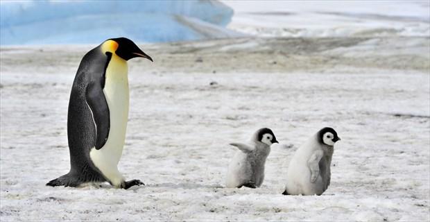 かわいい皇帝ペンギンの「子育て...