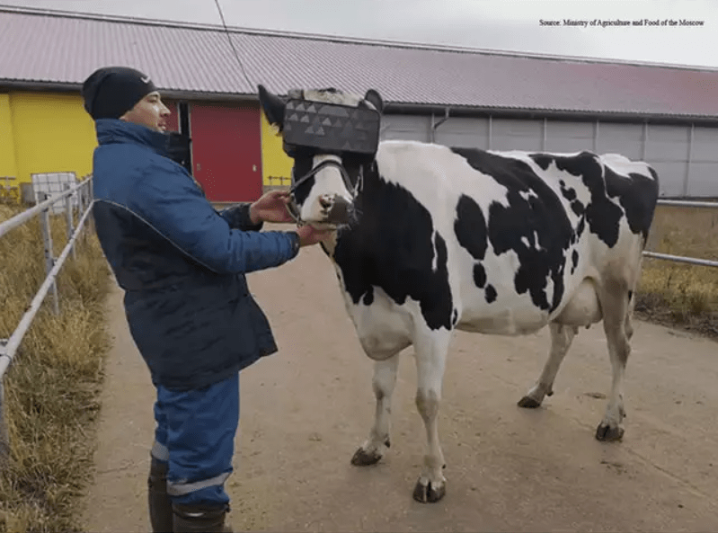 Russian farm trials VR cow headsets to increase milk production