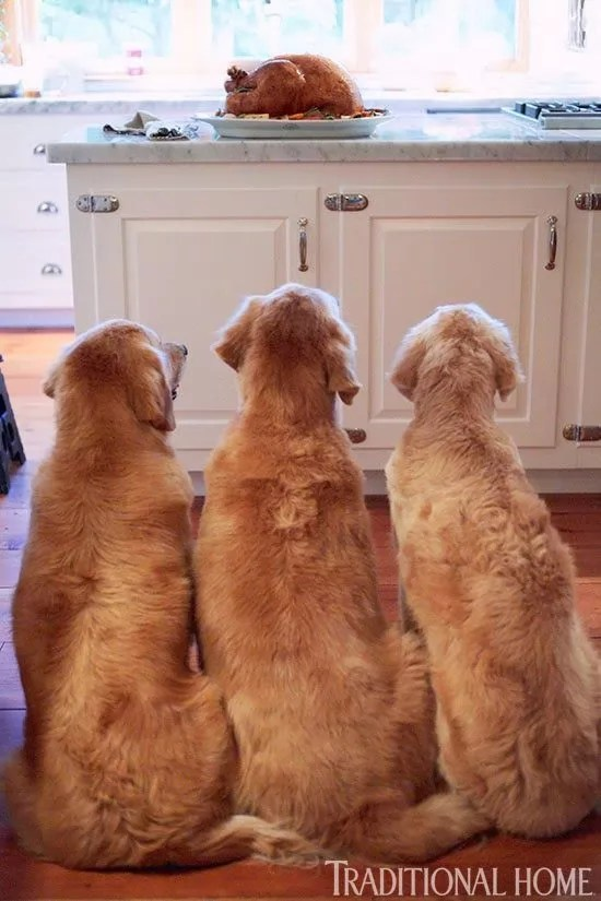 Really Cute Thanksgiving Wallpaper 12 Funny Reasons Why Golden Retrievers Are The Best Dogs Ever