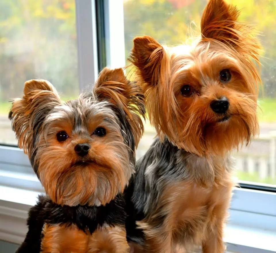 10 Reasons Why You Should Never Own Yorkies