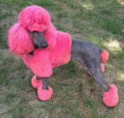 poodles with hairstyles