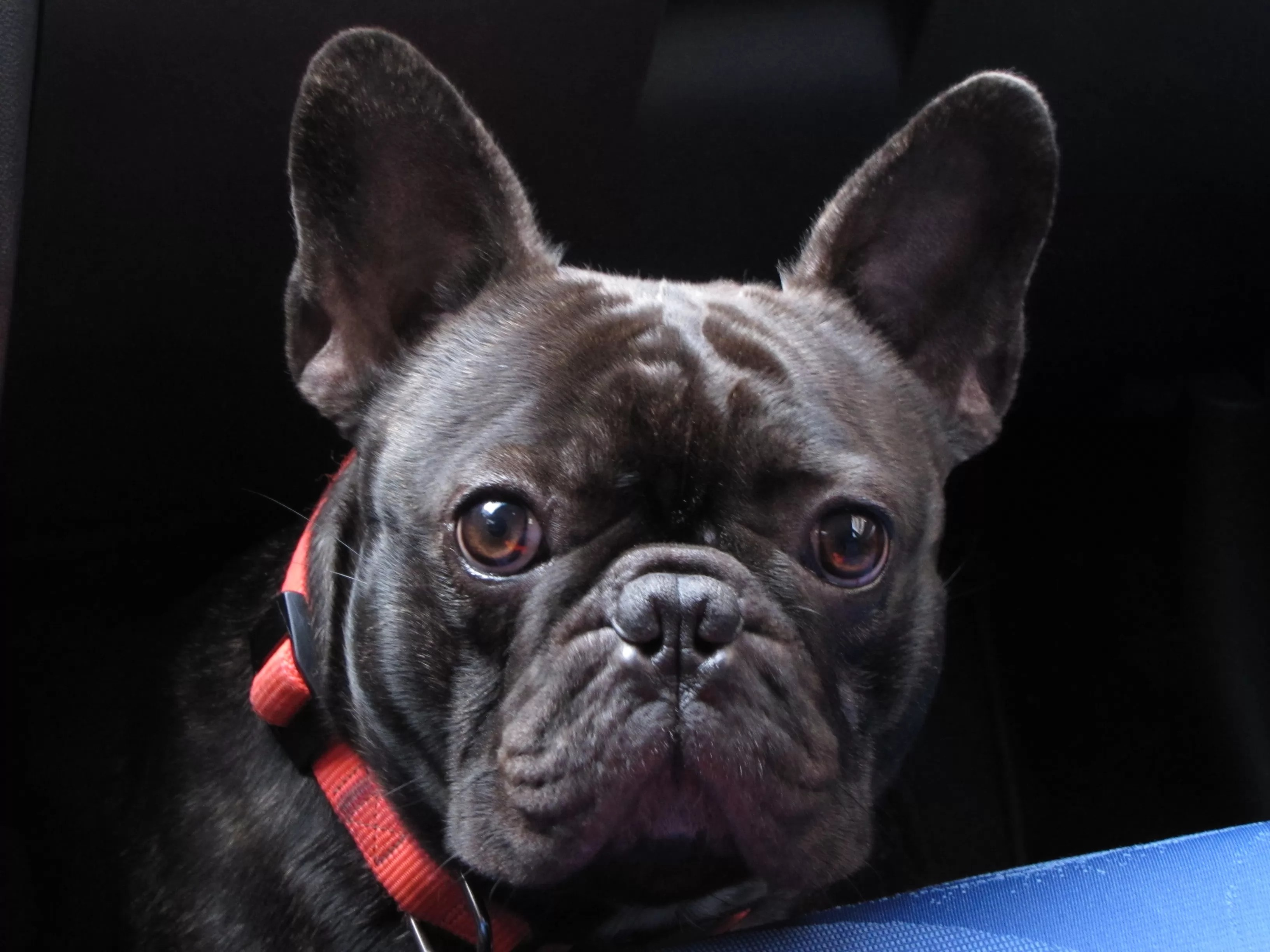 Cute Frenchie Wallpaper 12 Reasons Why You Should Never Own French Bulldogs