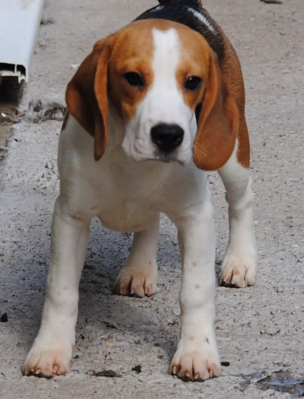 Beagle Dog Names