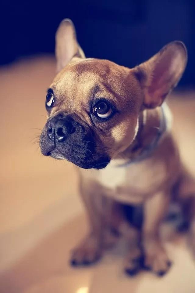 10 Best French Bulldog Dog Names