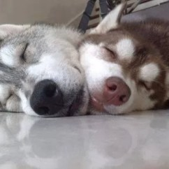 Types Of Sofas Cheap Red Sectional Sofa 12 Huskies' Most Fantastic & Awkward Sleeping Positions