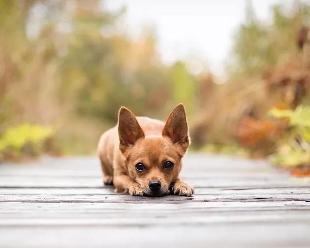 Cute Babydoll Wallpaper 50 Most Popular Chihuahua Dog Names