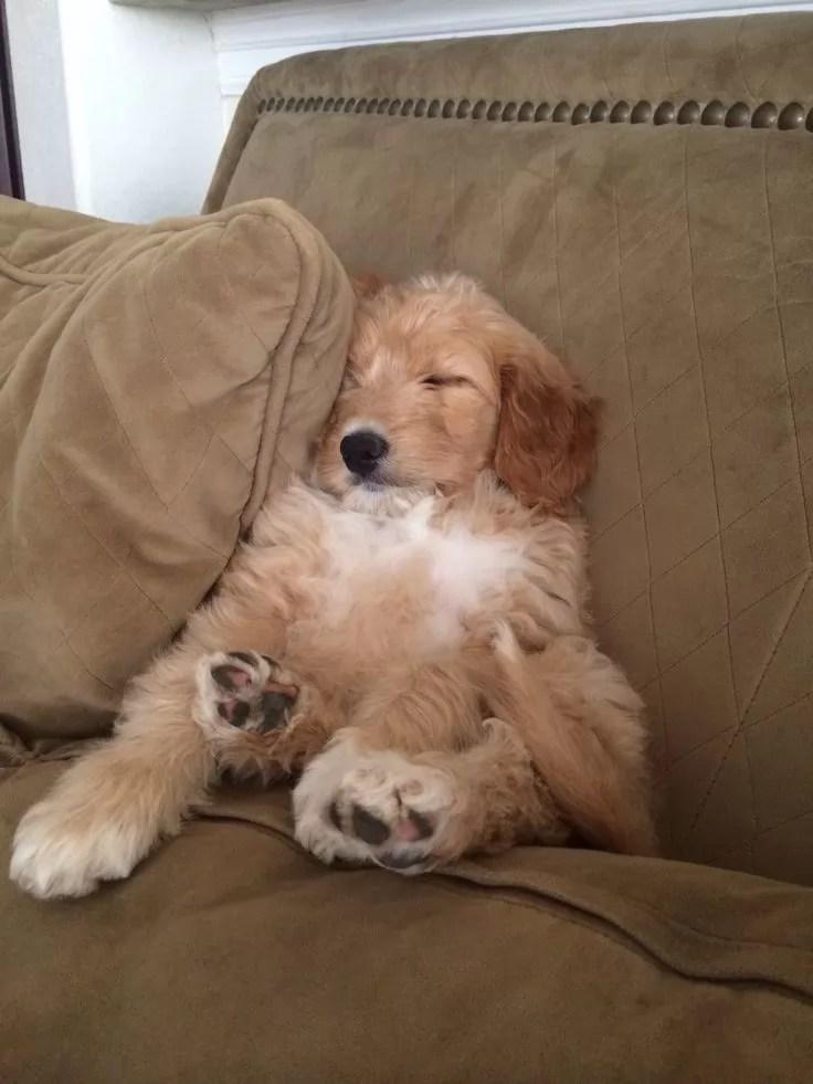 10 Best Goldendoodle Dog Names
