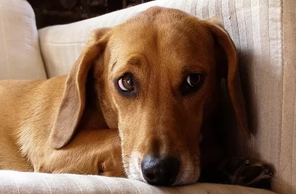 34 Unreal Dachshund Cross Breeds You Have To See To Believe