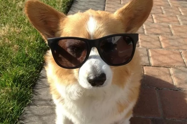 18 Reasons Corgis Are Totally Unfit To Be Pets