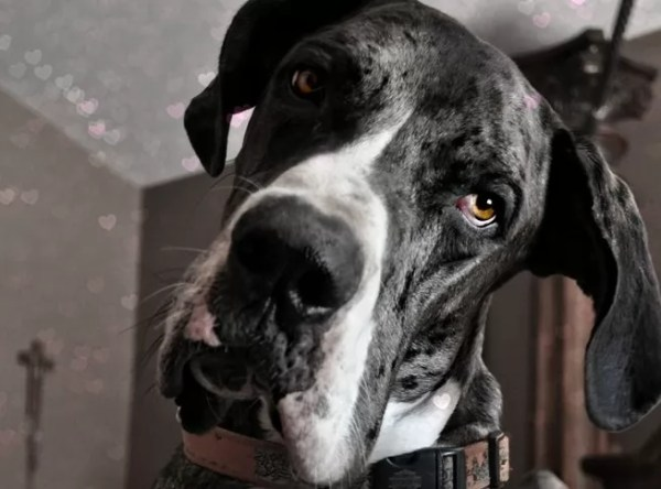 19 Reasons Great Danes Are Actually The Worst Dogs To Live