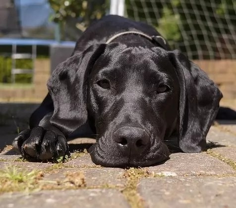 10 Unreal Great Dane Cross Breeds You Have To See To Believe