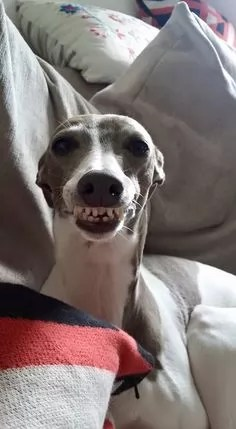 14 Reasons Whippets Are The Worst Indoor Dog Breeds Of All