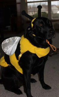 19 Costumes That Prove Labradors Always Win At Halloween