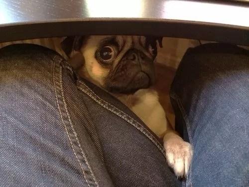 funny face pug