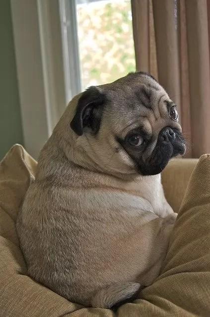 sad pug photo