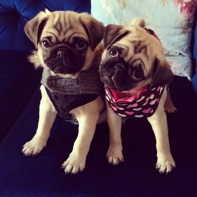 two pugs amazing