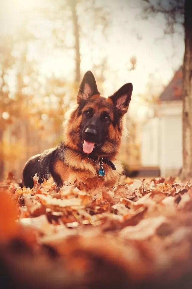 Puppies In Fall Wallpaper 21 Things That Make German Shepherds Happy