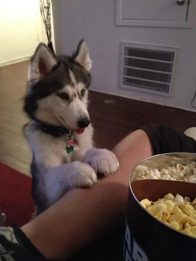 Hungry Husky
