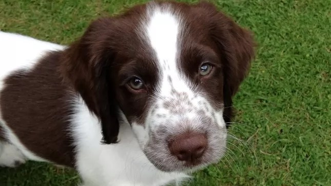 Small Cute Puppy Wallpapers 10 Best Springer Spaniel Dog Names