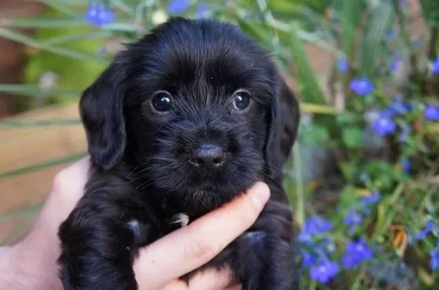 Yorkshire Terrier Poodle Mix