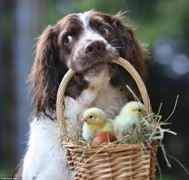 12 Reasons Springer Spaniels Are Not The Friendly Dogs