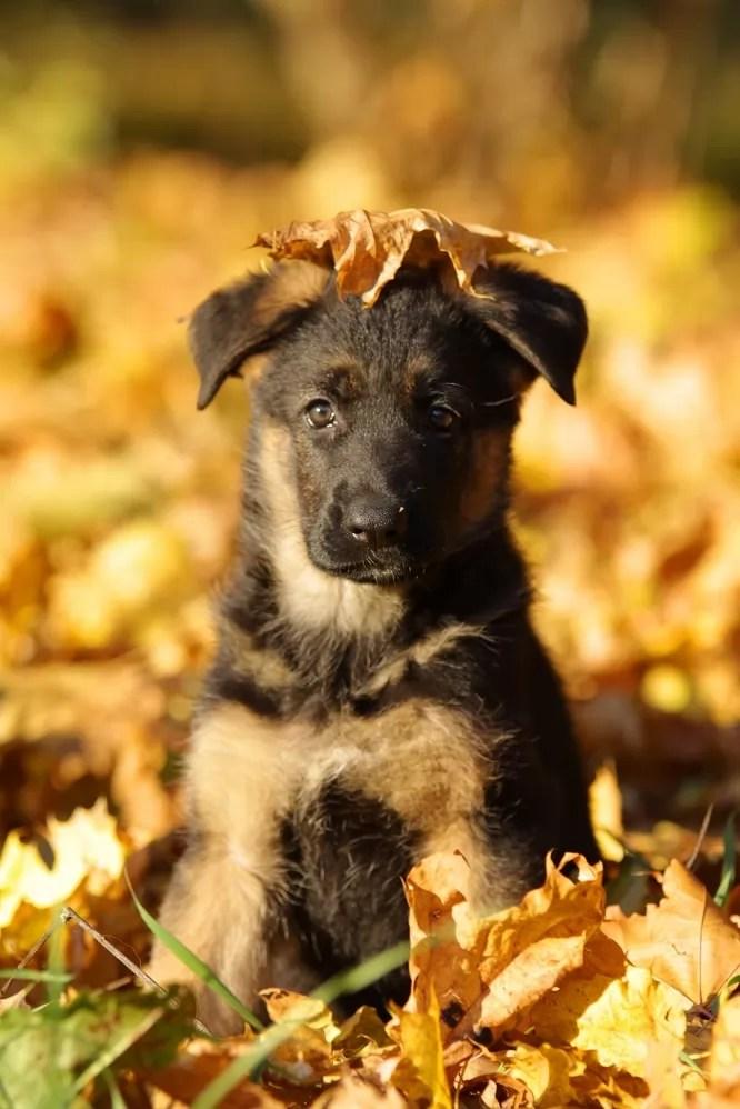 Really Cute Thanksgiving Wallpaper 12 Things That Make German Shepherds Happy